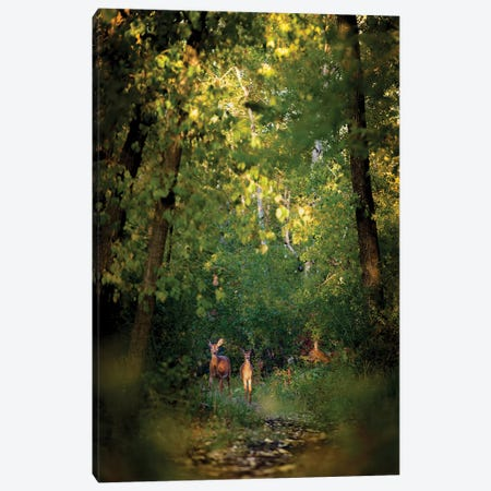 Deer Family In Forest Early Morning Canvas Print #NRV254} by Nik Rave Canvas Art