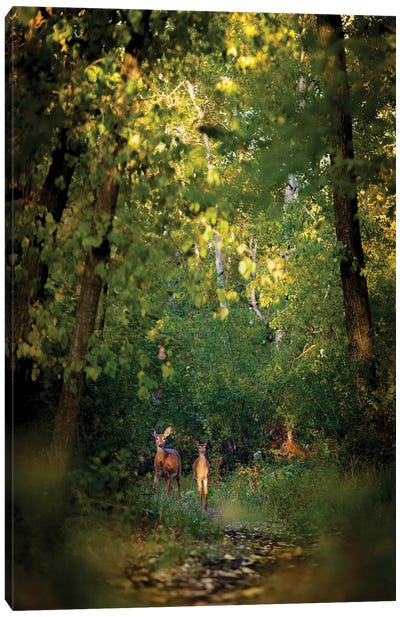 Deer Family In Forest Early Morning Canvas Art Print