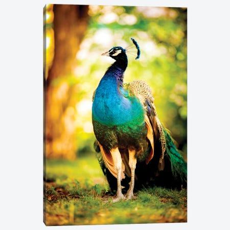 Peacock On The Sun Canvas Print #NRV279} by Nik Rave Canvas Print