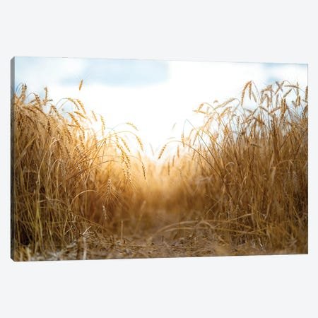 Millet Field Path In A Center Canvas Print #NRV312} by Nik Rave Canvas Artwork