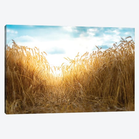 Millet Field Path Canvas Print #NRV313} by Nik Rave Canvas Wall Art