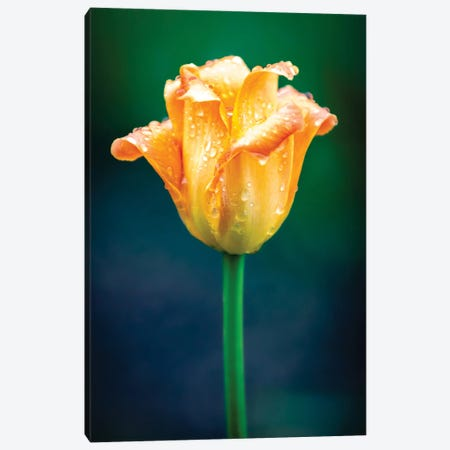 Orange Tulip Water Drops Canvas Print #NRV320} by Nik Rave Art Print