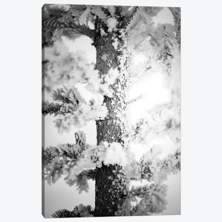 Hoarfrost Pine Up Close Canvas Print #NRV341} by Nik Rave Canvas Art Print