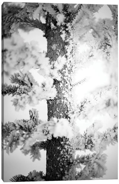 Hoarfrost Pine Up Close Canvas Art Print