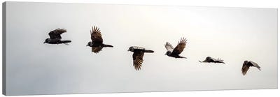 Equilibrium: Sequential Shoot Of A Flying Raven Canvas Art Print