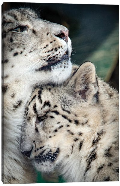 Snow Leopard Mother And Cab Canvas Art Print