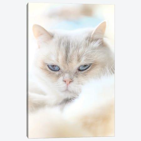 Fluffy British Shorthair Cat Canvas Print #NRV380} by Nik Rave Canvas Print