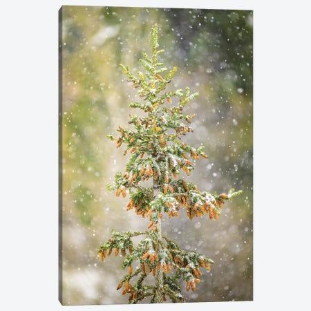 Spruce At Snowfall Canvas Print #NRV386} by Nik Rave Canvas Artwork