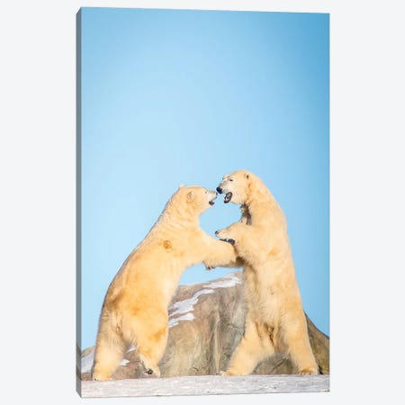 Polar Bears Playing On The Hill Canvas Print #NRV41} by Nik Rave Canvas Artwork