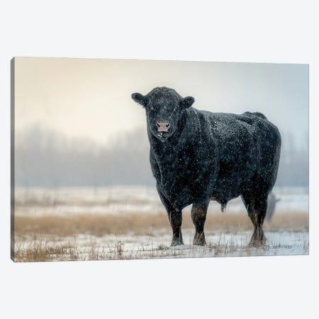 Winter Bull Canvas Print #NRV430} by Nik Rave Canvas Print