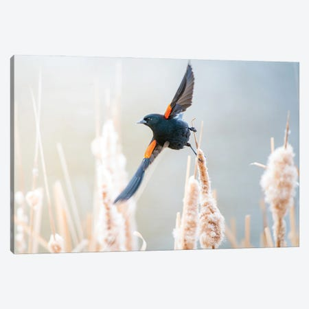 Blackbird Morning Dance Canvas Print #NRV445} by Nik Rave Canvas Art Print