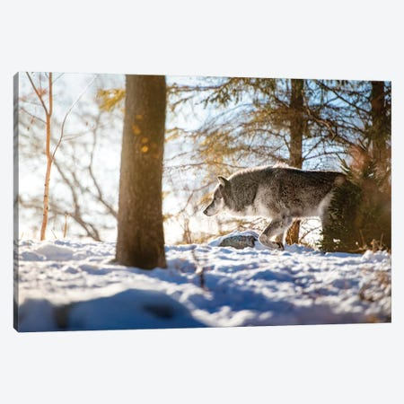 Timber Wolf Walking On The Snow Canvas Print #NRV46} by Nik Rave Canvas Print