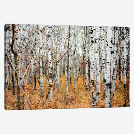 Birch Grove Canvas Print #NRV50} by Nik Rave Canvas Print
