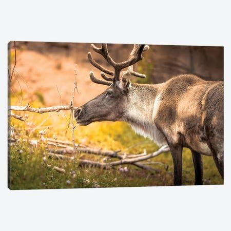 Woodland Caribou On Sunny Evening Canvas Print #NRV57} by Nik Rave Canvas Artwork