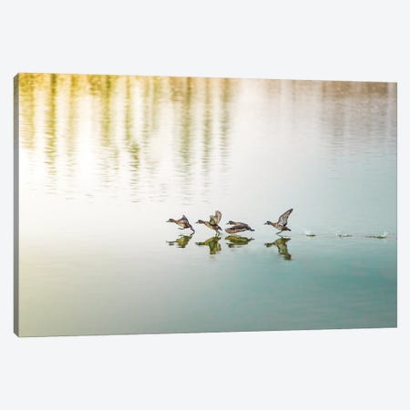 Duck Takeoff Sequence Canvas Print #NRV62} by Nik Rave Canvas Artwork