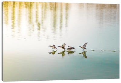Duck Takeoff Sequence Canvas Art Print