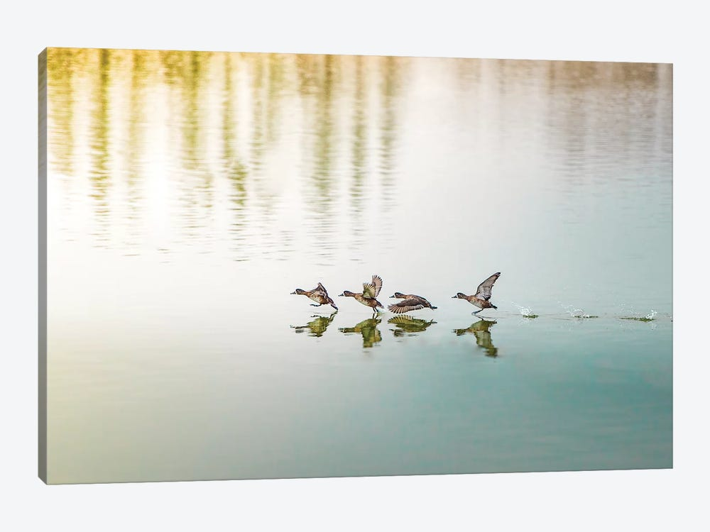 Duck Takeoff Sequence by Nik Rave 1-piece Canvas Wall Art