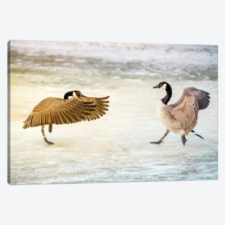 Geese Dance Fight Canvas Print #NRV67} by Nik Rave Art Print