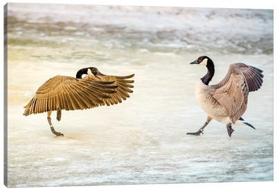 Geese Dance Fight Canvas Art Print