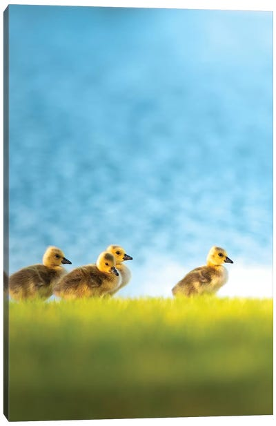 Chicks Or Follow The Leader Canvas Art Print