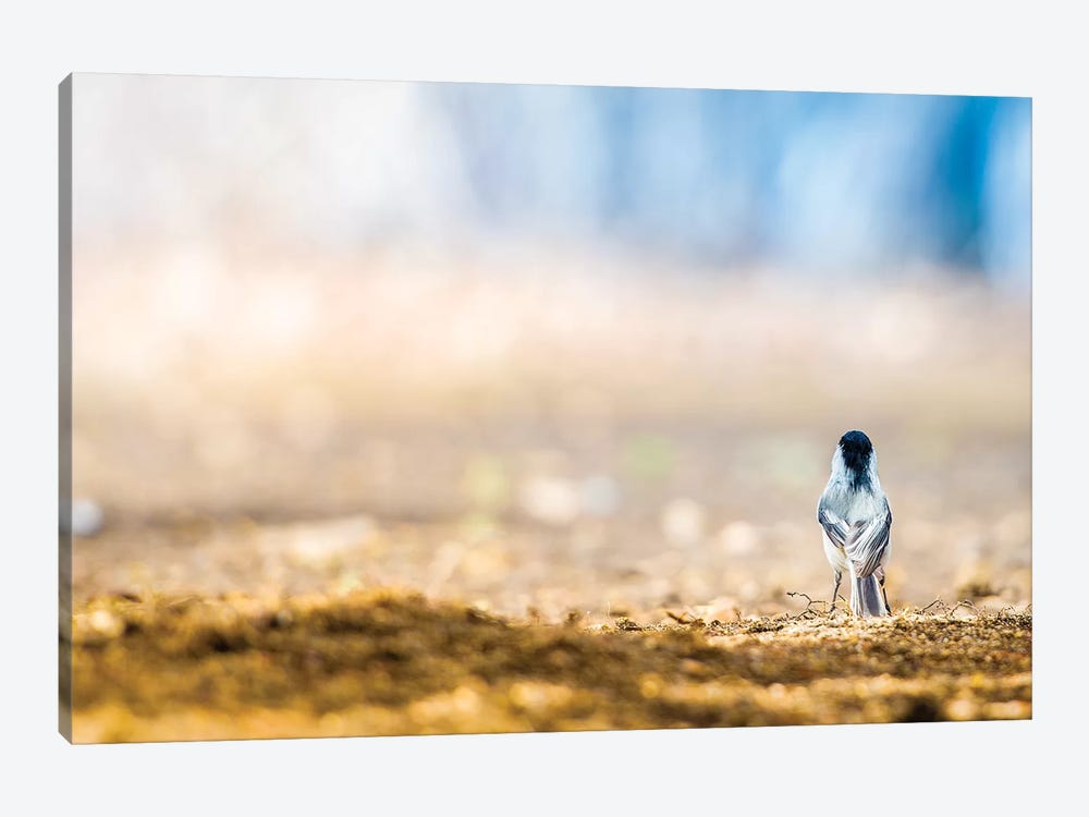 Chickadee On Guard by Nik Rave 1-piece Canvas Art Print