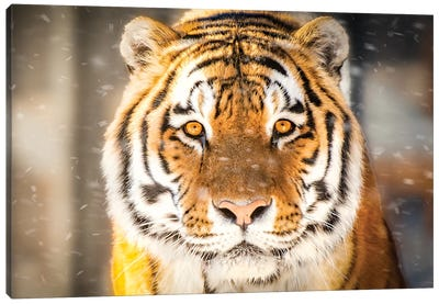 Approaching Tiger In Winter Close Up Canvas Art Print