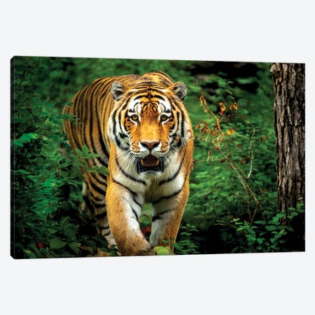 Tiger Walking Through The Forest 3-Piece Canvas #NRV92} by Nik Rave Canvas Art Print