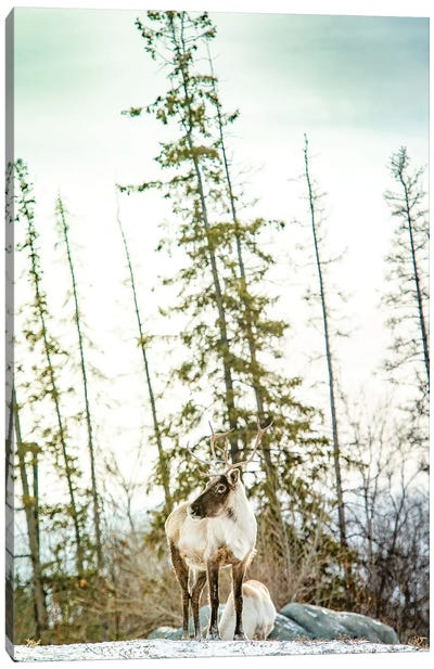 Caribou Posing On The Top Of The Hill Canvas Art Print