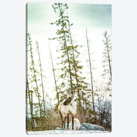 Caribou Posing On The Top Of The Hill Canvas Print #NRV96} by Nik Rave Canvas Wall Art