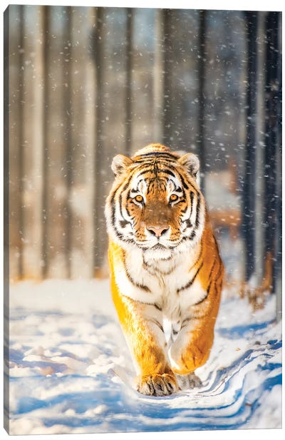 Approaching Tiger In Winter Canvas Art Print