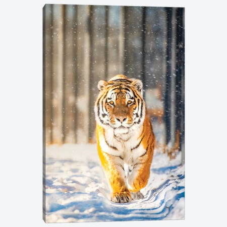 Approaching Tiger In Winter 3-Piece Canvas #NRV9} by Nik Rave Canvas Art Print