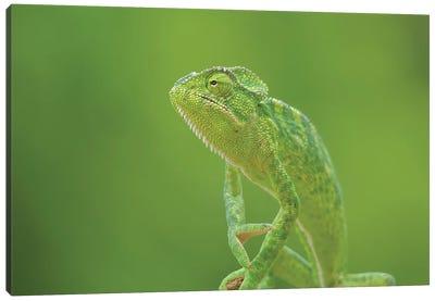 Chameleons Canvas Art Print