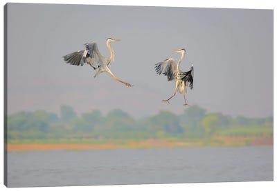 Grey Heron Fight (Marshall Art) Canvas Art Print
