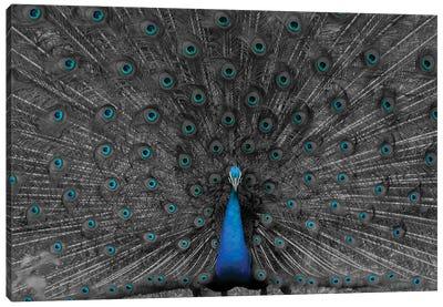 Indian Peafowl Canvas Art Print