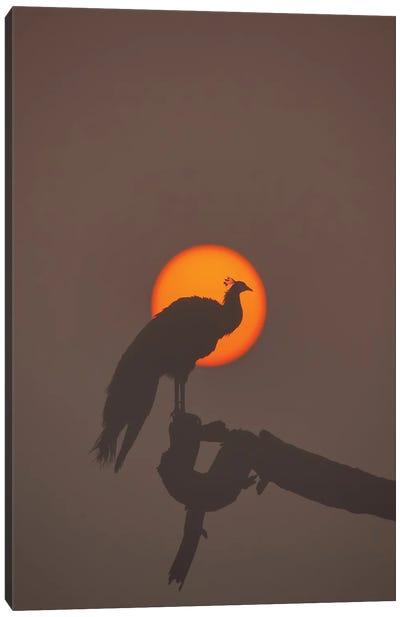 Peafowl In Sun Canvas Art Print