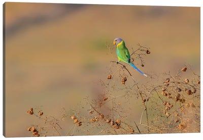 Plum-Headed Parakeet Canvas Art Print