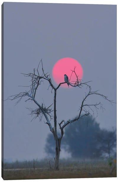 Peregrine Falcon In Sun Canvas Art Print