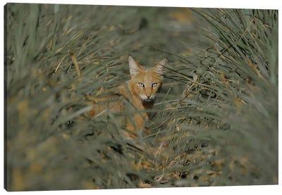 Jungle Cat Canvas Art Print
