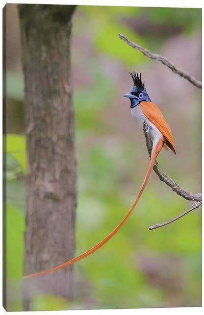 Indian Paradise Flycatcher Canvas Art Print
