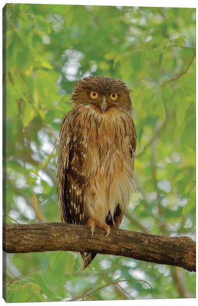 Brown Fish Owl Canvas Art Print