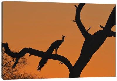 Peafowl In Silhouette Canvas Art Print