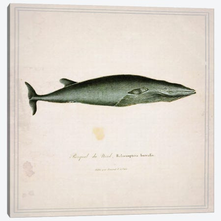 Whale I Canvas Print #NWE58} by Natasha Westcoat Canvas Artwork