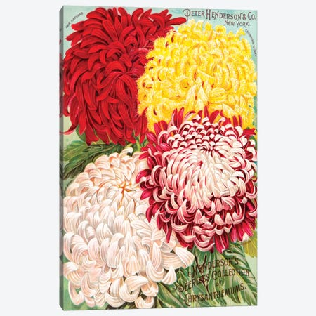 Peerless Collection Of Chrysanthemums Canvas Print #NYB13} by New York Botanical Garden Portfolio Canvas Artwork