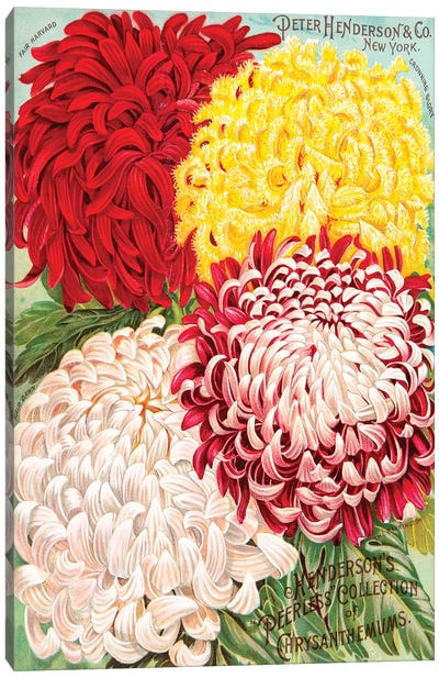Henderson's Seed Catalogue Series: Peerless Collection Of Chrysanthemums Canvas Print #NYB13