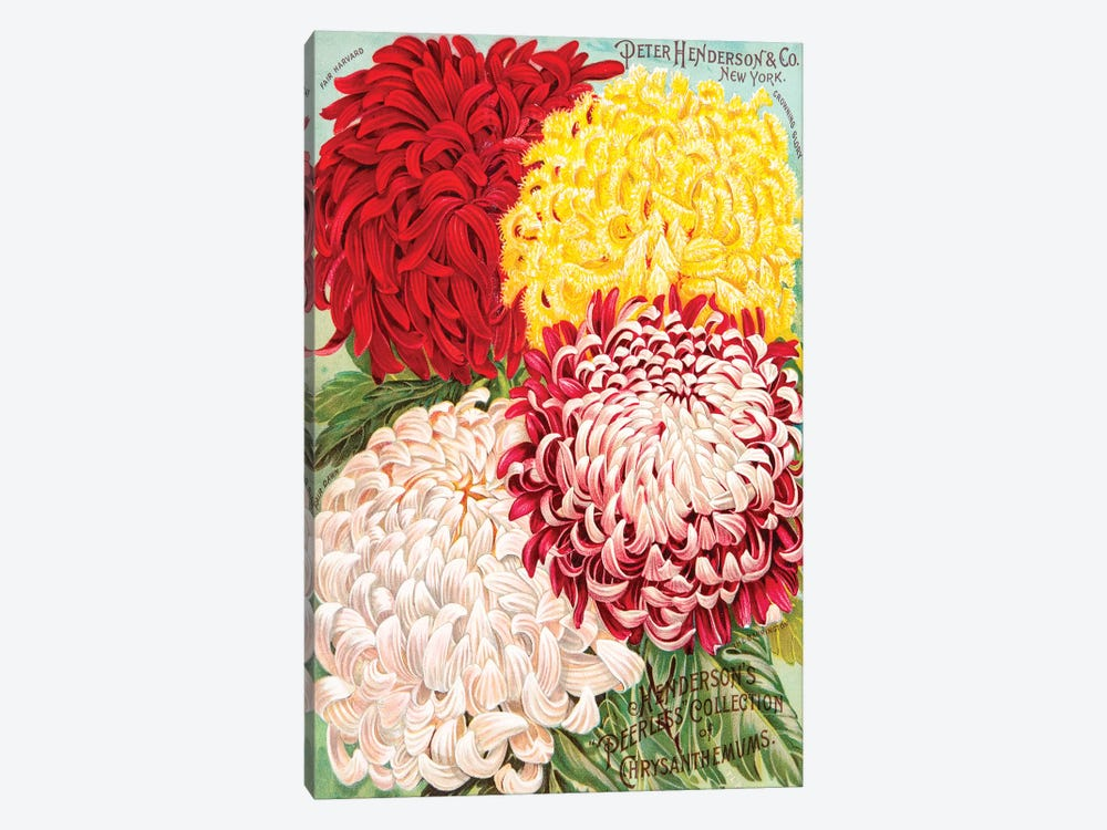 Peerless Collection Of Chrysanthemums by New York Botanical Garden 1-piece Art Print