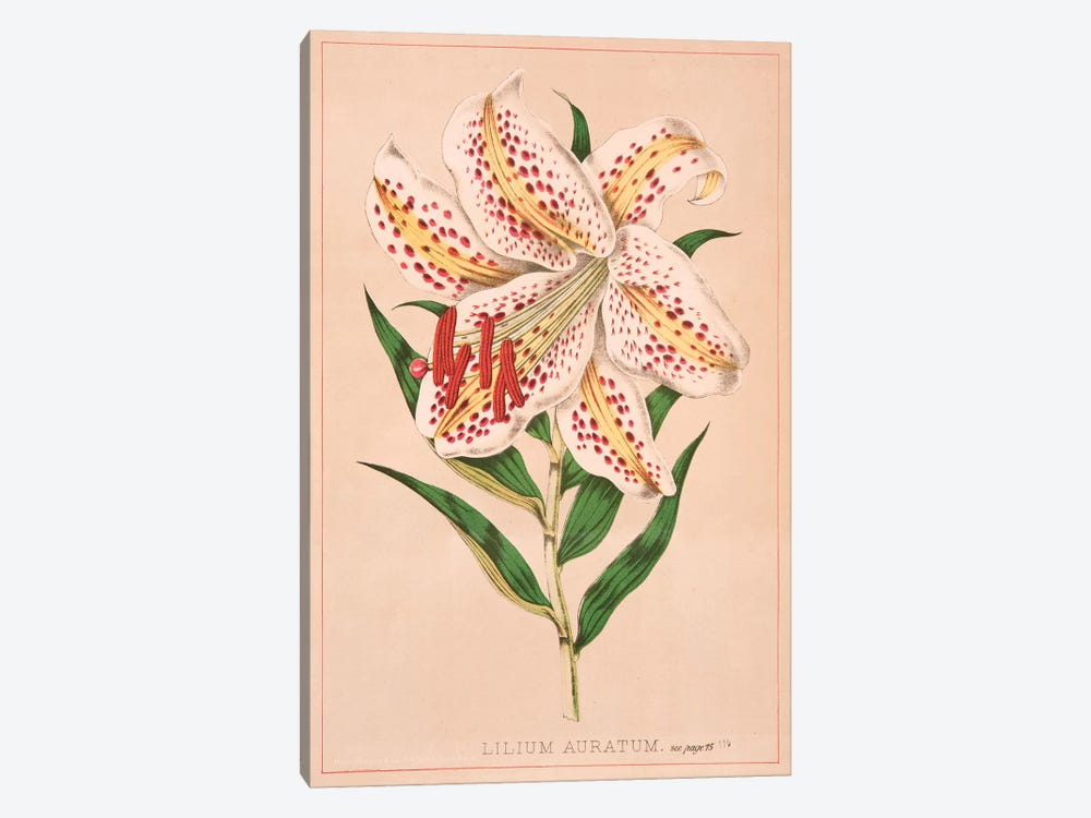 Lilium Auratum by New York Botanical Garden 1-piece Canvas Wall Art