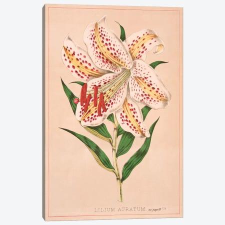 Lilium Auratum Canvas Print #NYB16} by New York Botanical Garden Portfolio Canvas Art Print