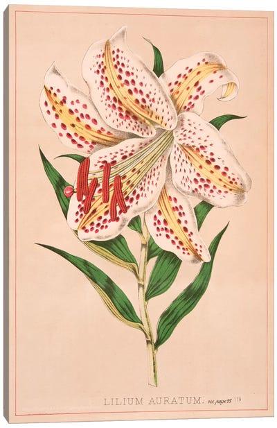 Lilium Auratum Canvas Art Print