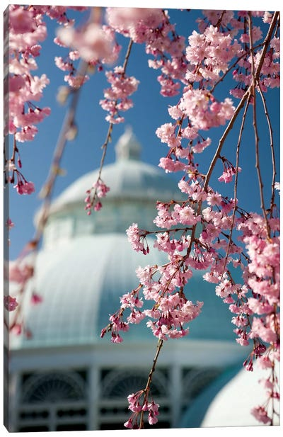 Pink Weeping Cherry Blossoms Canvas Art Print