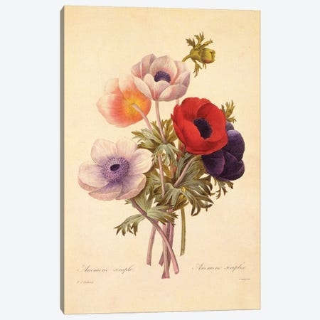Anemone Simplex Canvas Print #NYB23} by New York Botanical Garden Portfolio Canvas Art Print